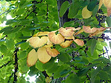 Blätter des Kuchenbaums (Foto Gisela Baudy)