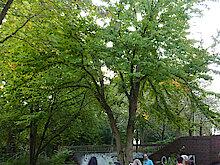 Kuchenbaum in der Hirschfeldstraße (Foto Gisela Baudy)