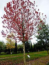 Herbst-Flammen-Ahorn aus Nordamerika (Foto Gisela Baudy)