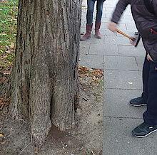 Abklopfen der Linde durch Samiro. Am Fuß zeigt sich Baumfäule. (Foto Gisela Baudy)
