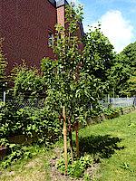 Am 9.12.20 gepflanzter Apfelbaum (Foto Gisela Baudy)