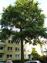 Sumpfeiche (Klimabaum, Foto G, Baudy)