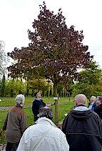 Amberbaum aus dem südöstlichen Nordamerika (Foto Gisela Baudy)