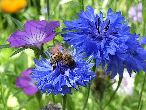 Korn- und Wiesenblumen (Foto Gisela Baudy)