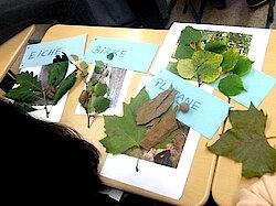 Bestimmung der Blattarten (Foto Gisela Baudy)