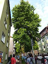 Amberbaum (Klimabaum, Foto Gisela Baudy)
