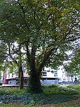 Rosskastanie im Max-Schmeling-Park (Foto Gisela Baudy)