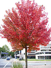 Rotahorn, hier aus dem Jahr 2012 mit bereits rotem Herbstkleid (Klimabaum, Foto Gisela Baudy)