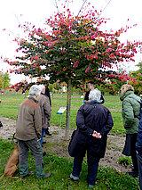 Eisenholzbaum aus Nordpersien (Foto Gisela Baudy)
