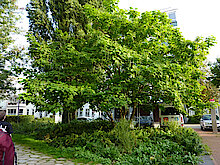 Trompetenbaum (Klimabaum, Foto Gisela Baudy)
